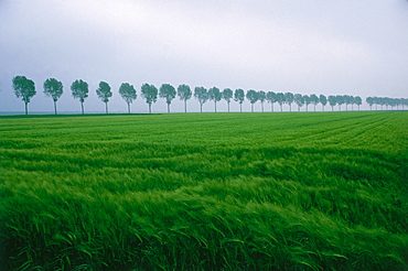 Trees in a row, grain field in the front