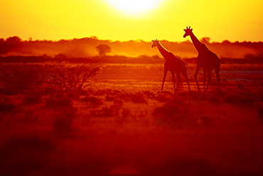 Two giraffes at Etosha National Park at sunset. Namibia, Africa