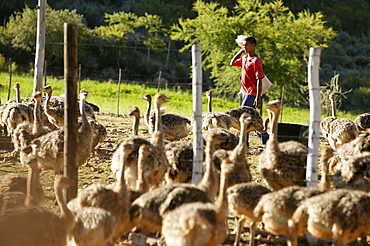 Farm worker with ostriches near Oudtshoorn, Western Cape, South Africa, Africa