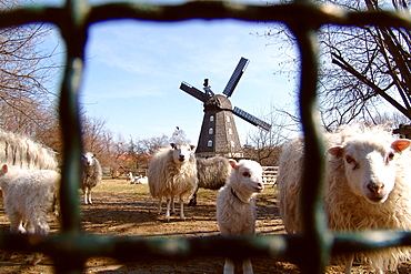 Unexpected city view, sheeps and windmill in Berlin Britz, Berlin, Germany