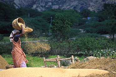 Woman throwing rice out of a basket, Tamil, Nadu, South India, India, Asia
