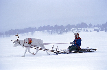Man on reindeer sleigh in the snow, Lapland, Sweden, Europe