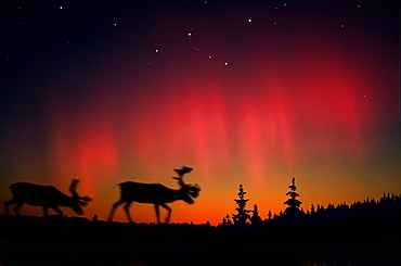 Northern lights above elks and coniferous trees, Lappland, Norway, Scandinavia, Europe