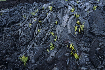 Ferns in Lava Rock, Volcanoes National Park, Big Island Hawaii, Hawaii, USA