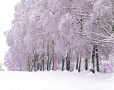 Trees covered with snow, Upper Bavaria, Germany