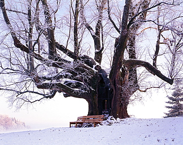 1000 years old lime tree with bench, Upper Bavaria, Germany