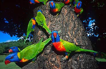 Loris, parrots on a trunk, Queensland, Australia