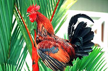 Crowing rooster, St. Lucia, Caribbean, America