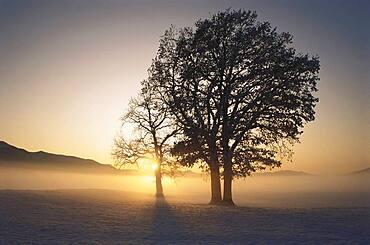 Oak tree and sunrise, winter mood