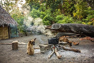 Dogs at fire pit on Malekula, Vanuatu, South Pacific, Oceania