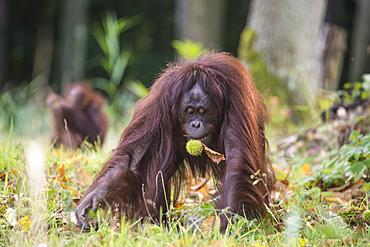 Orang Utan with chestnut in the Rostock Zoo, Germany, Mecklenburg-Western Pomerania, Baltic Sea