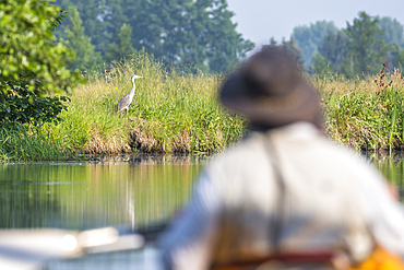 Kayak driver observes gray heron, Germany, Brandenburg, Spreewald