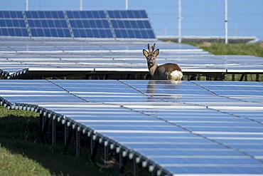 Roe buck in the solar park, Germany, Berlin,