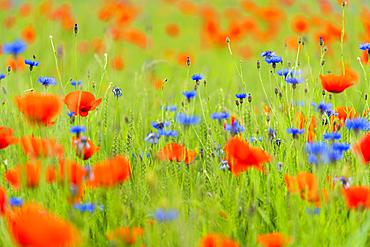 Grain field with meadow flowers, Bavaria, Germany, Europe