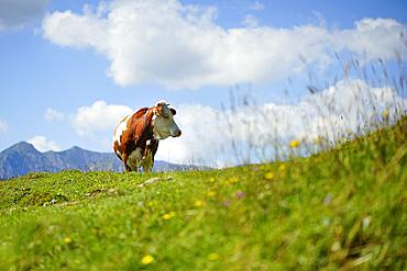 Cow on an alpine meadow, Bavaria, Germany, Europe