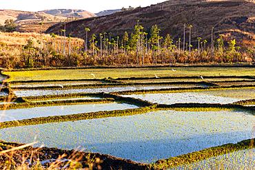 Rice fields west of Antananarivo, highlands, Madagascar, Africa