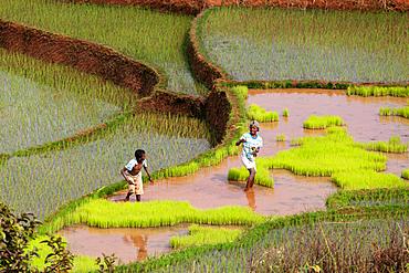 Rice terraces at Ambalavao, highlands, Madagascar, Africa