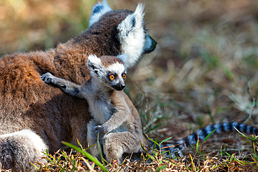 Ring-tailed lemur with baby, Lemur catta, Nahampoana Reserve, Southern Madagascar, Africa