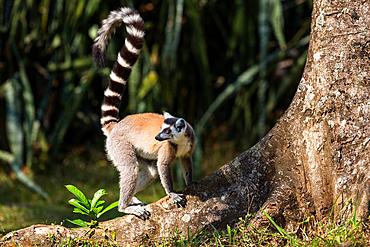 Ring-tailed lemur, Lemur catta, Nahampoana Reserve, Southern Madagascar, Africa