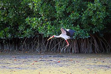 Gambia; Western Region; at Bintang Bolong; Stork landing on the bank;