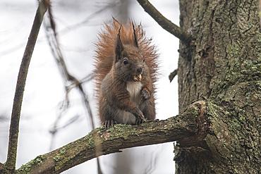 Rain-soaked squirrel eats an acorn, Germany, Brandenburg, Spreewald