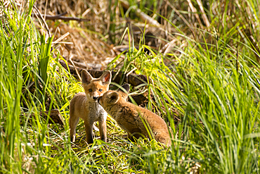 Playing red fox puppies in the warming light of the spring sun, Germany, Brandenburg