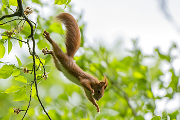 Red squirrel jump daringly from the tree into the depths, Germany, Brandenburg