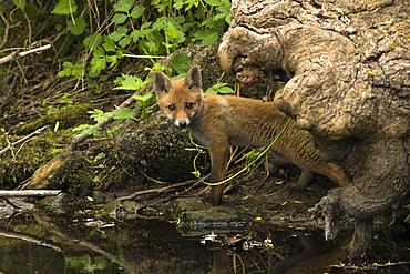 Portrait red fox puppy on the riverside