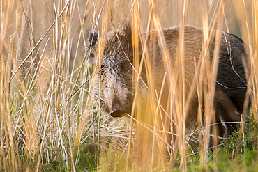 Portrait wild boar Bache in the high reed count, Germany, Brandenburg