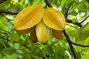 Carambola star fruit on tree, Puamau, Hiva Oa, Marquesas Islands, French Polynesia, South Pacific