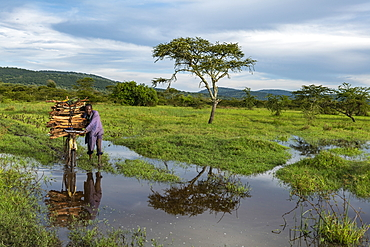 Man pushes bicycle with collected firewood through puddle near grassland, near Akagera National Park, Eastern Province, Rwanda, Africa