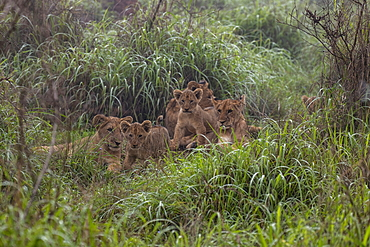 Lion family seen from a safari vehicle operated by luxury resort tented Magashi Camp (Wilderness Safaris), Akagera National Park, Eastern Province, Rwanda, Africa