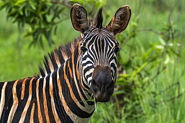 Zebra in the grasslands, Akagera National Park, Eastern Province, Rwanda, Africa