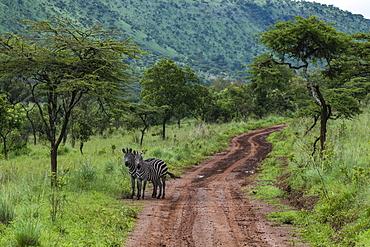 Zebras on mud track through grasslands, Akagera National Park, Eastern Province, Rwanda, Africa