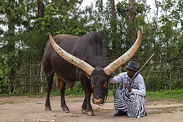 Inyambo (sacred) cow with huge horns and guardian in the garden of the Royal Palace Museum of Mutara III Rudahigwa from 1931, Nyanza, Southern Province, Rwanda, Africa