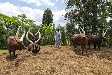 Inyambo (sacred) cows with huge horns and guardians in the garden of the Royal Palace Museum of Mutara III Rudahigwa from 1931, Nyanza, Southern Province, Rwanda, Africa