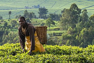 Man with basket harvests tea leaves in tea plantation, near Gisakura, Western Province, Rwanda, Africa