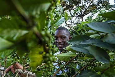 Man smiles while picking coffee beans in a coffee plantation, Kinunu, Western Province, Rwanda, Africa