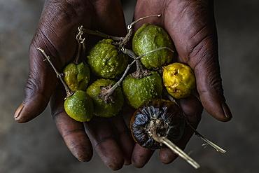 Detail of seeds in the hands of medicine man in the cultural village of Gorilla Guardians Village, Ruhengeri, Northern Province, Rwanda, Africa