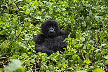 Gorilla of the Sabyinyo group of gorillas, Volcanoes National Park, Northern Province, Rwanda, Africa