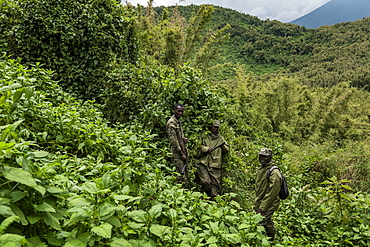 Ranger guides and trackers during a trekking excursion to the Sabyinyo group of gorillas, Volcanoes National Park, Northern Province, Rwanda, Africa
