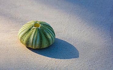 Green Seaurchin shot on fine sand beach. Shot on Caribbean island.