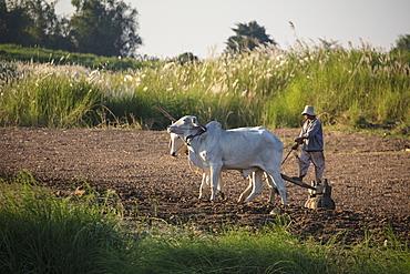 Ox pulling plow and farmer along field on Mekong bank, near Preah Prosop, Mekong River, Kandal, Cambodia, Asia