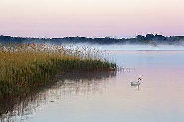 Swan on the Selliner See, Ruegen, Baltic Sea, Mecklenburg-Western Pomerania, Germany