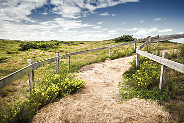 Path through blooming dune landscape under a blue sky with clouds, Spiekeroog, East Frisia, Lower Saxony, Germany, Europe