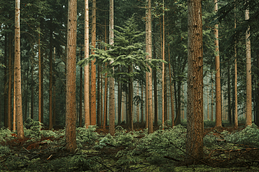 Autumn forest with Douglas firs (Pseudotsuga menziesii) in the fog, Wiesede, Friedeburg, Wittmund, East Frisia, Lower Saxony, Germany, Europe