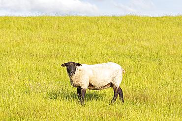 Sheep (Ovis), Wadden Sea National Park, Schleswig-Holstein, Germany