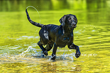 Outside; Outside; Outdoor shot; Outdoor shot; Europe; Field; Domestic animal; Dog; Puppy; Young animal; Labrador; Nobody; Portrait; Retriever; Mammal; Mammal; Watch; Looking; Black; Animal; Water; River; River; Splash; Dynamics; Summer; Bath; Leap; Leap;