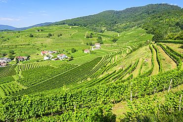 Vineyards near Spitz an der Donau, Wachau, Lower Austria, Austria