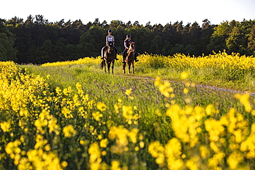Two young women ride horses on dirt road through blooming rapeseed field, Haunetal Starklos, Rhoen, Hesse, Germany, Europe